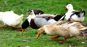 Ducks. Group of ducks eating outdoor on a green grass royalty free stock photos