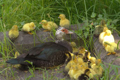 Ducks. Farm animals Royalty Free Stock Image