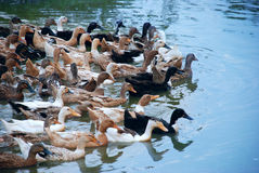 Ducks. Lot of ducks swimming in water Royalty Free Stock Photo