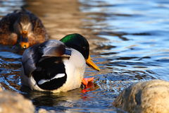 Ducks. The two ducks are playing with water royalty free stock photo
