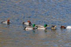 Ducks Royalty Free Stock Photo