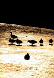 Ducks. On frozen pond in public park Royalty Free Stock Image