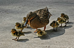 Ducks Stock Image