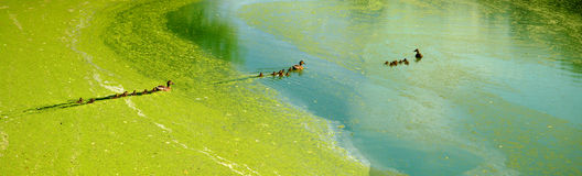 Ducks. Wild ducks with ducklings floating in an old pond Stock Photography