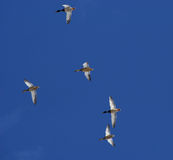 Ducks. Flying in the blue sky Royalty Free Stock Image