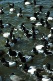 Ducks. Scaup Ducks swimming in a lake Royalty Free Stock Photos