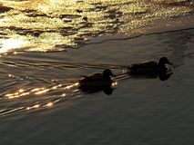 Ducks. Two ducks at sunset Stock Photos