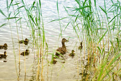 Ducks. Mallard duck and baby ducklings Stock Photos