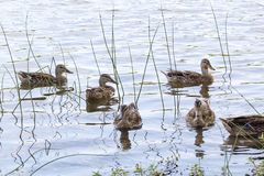 5.75 Ducks. 5 ducks all looking towards the same place, duck number 6 has its head underwater. Only 3/4 of its body is visible Royalty Free Stock Photos