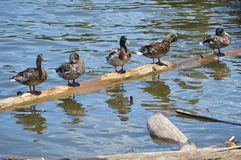 Ducks All in A Row Royalty Free Stock Photo