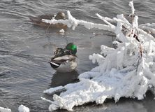 Ducks Anas platyrhynchos wintering in the unfrozen river. With snow covered branches of shrub on foreground Stock Image