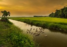 Free Ducks And Rice Fields , Hoi An City , Vietnam Stock Images - 105584154