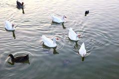 Ducks at Antonis Tritsis park Greece Royalty Free Stock Photography