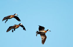 Ducks on approach Stock Photography
