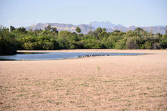 Ducks around a dry pond. In Arizona during spring time Stock Image