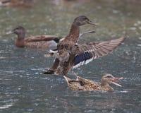 Ducks. As a female Mallard duck sounds the alarm, the drake takes flight Stock Image