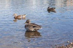 Ducks ashore clean their feathers royalty free stock photos