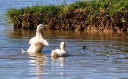 Ducks in asia. Stock Image