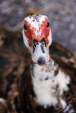 Ducks baby face. Close up of ducks face. Face has red bumps and white and brown feathers Stock Images
