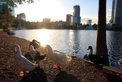 Ducks in the back light Royalty Free Stock Photography