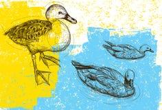 Ducks background Stock Photography