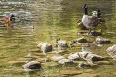 Ducks, Bakewell, England - shiny water. This image shows a lake with some ducks. It was taken in Bakewell, England. It was taken on a sunny day in April 2018 Stock Image