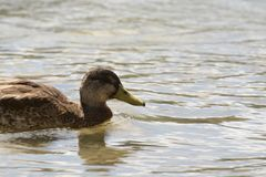 ducks bathing a hot summer on the lake stock images