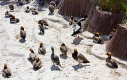 Ducks on the Beach Royalty Free Stock Photos