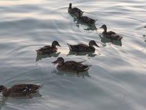 Ducks at the beach. This is Santa Ponsa Beach, Majorca, Balearic Island, Spain Stock Image