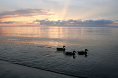 Ducks on beach in the sea sunset Stock Photo