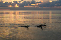 Ducks on beach in the sea sunset. Ducks are swiming in the sea sunset, latvia baltic sea Stock Photography