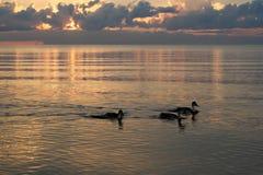 Ducks on beach in the sea sunset Stock Photography