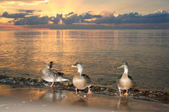 Ducks on beach in the sea sunset. Ducks are swiming in the sea sunset, latvia baltic sea Royalty Free Stock Images