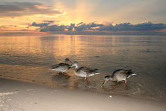 Ducks on beach in the sea sunset Stock Images
