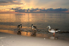 Ducks on beach in the sea sunset. Ducks are swiming in the sea sunset, latvia baltic sea Royalty Free Stock Photo