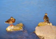 Ducks on the beach. Two ducks on the beach Stock Photos