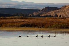 Ducks on Benson Pond stock photography
