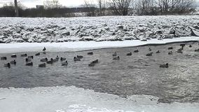 Ducks-big family on the river in winter. stock video footage