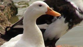 Ducks, Birds, Animals, Nature, Wildlife stock video footage