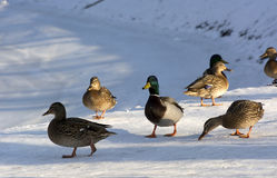 Ducks, birds, females and males in the snow, birches frozen pond. Sunny day Stock Images