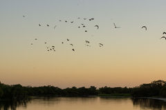 Ducks and birds flying at sunrise over water Royalty Free Stock Images