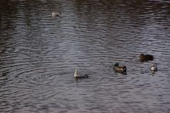 Ducks and birds in an icy water - Pond of the Mute in the city of Elancourt in France. Ducks and birds which swim in a lake frozen with an icy frosty water. It royalty free stock photo
