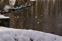 Ducks and birds in an icy water - Pond of the mute under the snow. Ducks and birds which swim in a lake frozen with an icy frosty water. It is in the day and in Stock Image