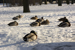 Ducks, birds lie on the snow in the Park. Sunny day, feathers, beak Stock Photography