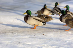 Ducks, birds in the snow heading in the same direction with wedg. E, winter, North Royalty Free Stock Photography