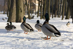 Ducks, birds stand in the snow in the Park and looking in the sa. Ducks, birds stand in the snow in the Park and look in one direction, winter, Park Stock Images