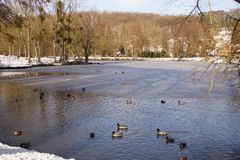 Ducks and birds which swim in a lake frozen. With an icy frosty water. It is in the day and in winter season. Shooting without character, outdoor. Pond of the Royalty Free Stock Photography