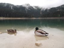 The Duck and the drake Stock Photography