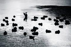 Ducks Royalty Free Stock Photos