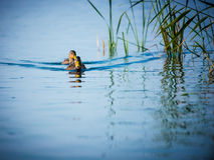 Ducks in blue water Stock Photo